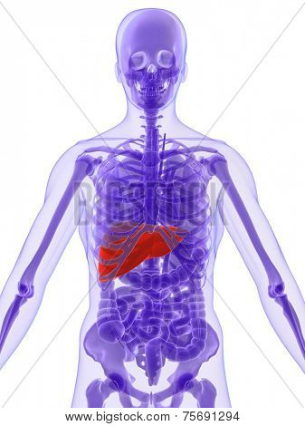 human anatomy with highlighted liver