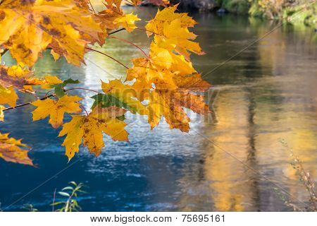 Golden Autumn Maple Leaf Branch