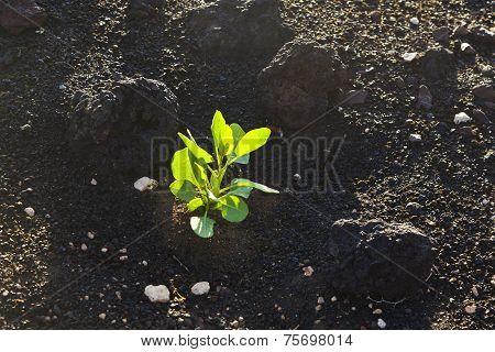 Sparse Vegetation On Volcanic Hills In Timanfaya National Park