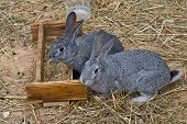 picture of rabbit hutch  - Cute and funny grey rabbits eating seeds standing on dry grass - JPG