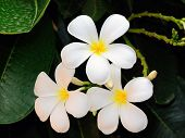 picture of plumeria flower  - White Frangipani flower at full bloom during summer - JPG