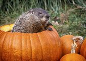 image of groundhog  - Groundhog - JPG