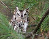 pic of screech-owl  - A Eastern Screech Owl  - JPG
