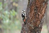 stock photo of woodpecker  - White-backed woodpecker female is looking for insects ** Note: Soft Focus at 100%, best at smaller sizes - JPG