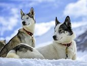 stock photo of husky sled dog breeds  - Black and white husky dogs resting on the snow - JPG