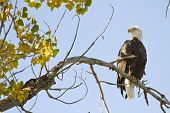 picture of cottonwood  - American Bald Eagle on the perch Longmont Colorado Boulder County - JPG