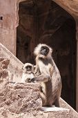 image of baby-monkey  - Mother and Baby Indian Gray langurs or Hanuman langurs  - JPG