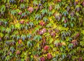 picture of english ivy  - English Ivy that is Climbing up a Wall - JPG