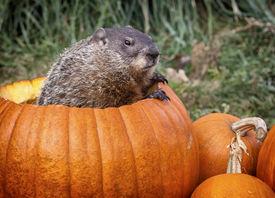 image of groundhog  - Groundhog - JPG