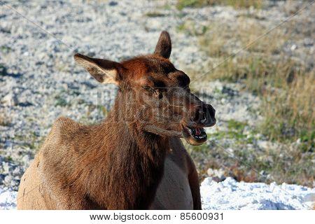Screaming Elk