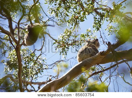 Kolas On Eucalyptus Tree