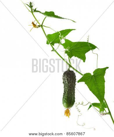 cucumber vegetables with leafs and flowers isolated on white background