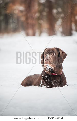 chocolate Labrador laying on the background of a winter forest snow
