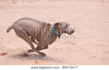 Weimaraner dog running full speed in sand