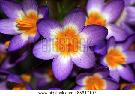 Multicolour crocuses