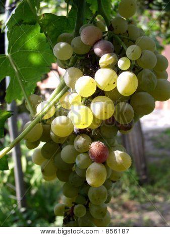 grape for wine 1
