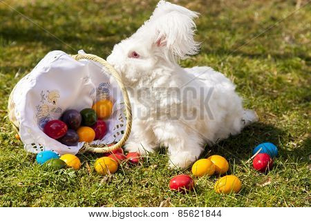 Fluffy easter angora bunny with easter eggs