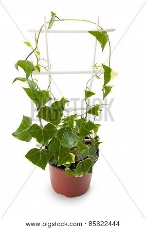 Ivy In A Flowerpot