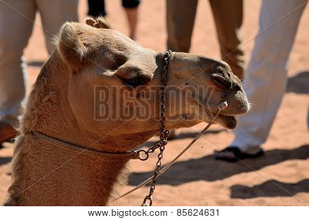 Camel Head In Front Of Legs Of Tourists