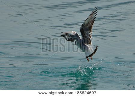 Seagull Landing On The Water