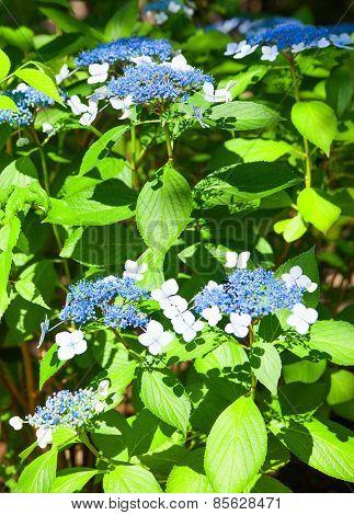 Bright blue-lilac hydrangea flower