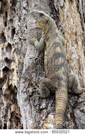 Black Iguana in a Tree