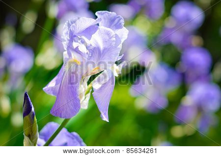 Purple Iris Ona A Meadow. Soft Focus Or Shallow Deapth Of Field. Iris Flower. Blue Iris. Petals Of A
