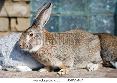 Image of cautious grey bunny