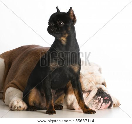 two different purebred dogs on white background - brussels griffon and bulldog