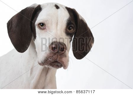 pointer puppy portrait on white background