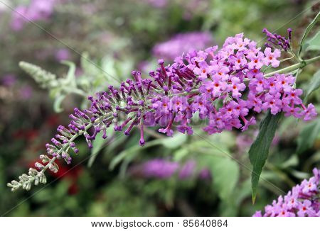 Indian Lilac,  Lagerstroemia Indica