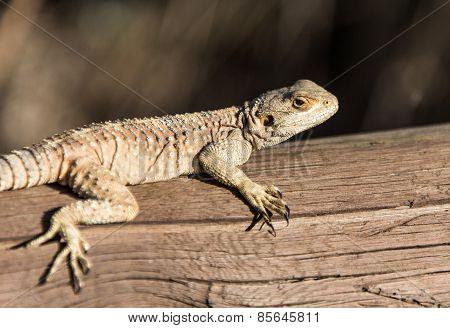 Big Brown Lizard