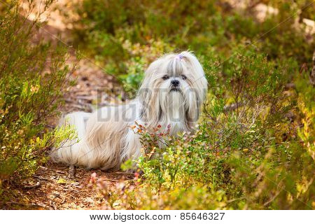 Shih-tzu dog sitting on path on forest