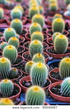 Cacti Growing In Pots
