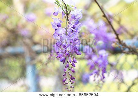 Purplevine,Bean Tree,Chinese Wisteria