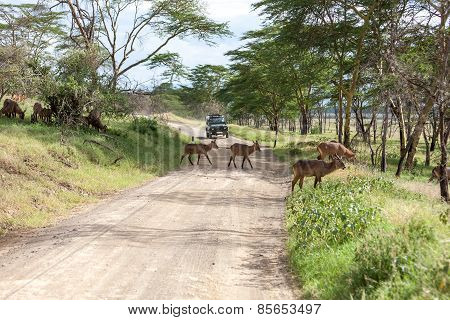 antelopes on a background of road