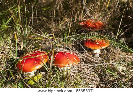 Red poisonous mushrooms