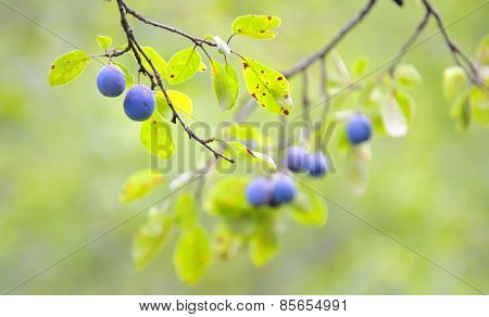 Plums on tree in autumn time