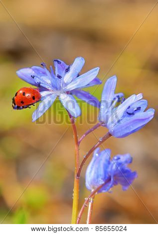 Single Ladybug on violet flowers in spring time