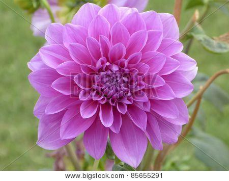 Purple lavender dahlia