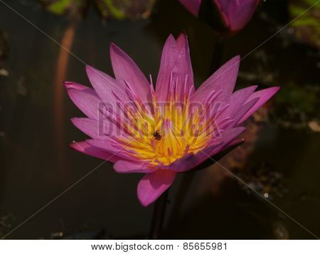 Pink Lotus and Bee