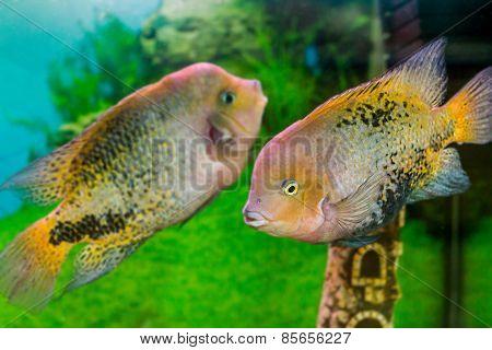 Beautiful Aquarium Fish Cichlasoma Synspilumn