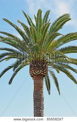 Laguna Beach Date Palm