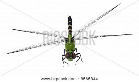Eastern Pondhawk Dragonfly, Erythemis Simplicicollis
