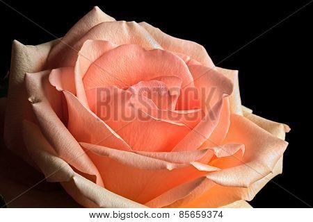 Pastel Peach Rose