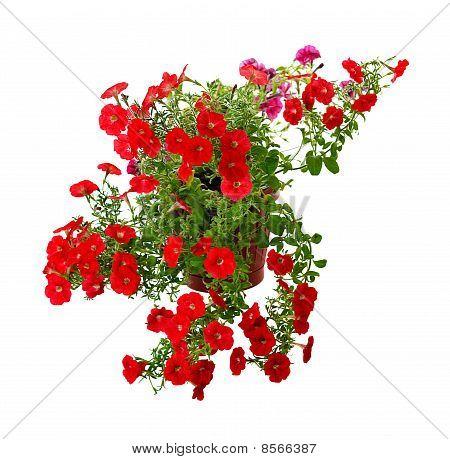 Blooming Petunia