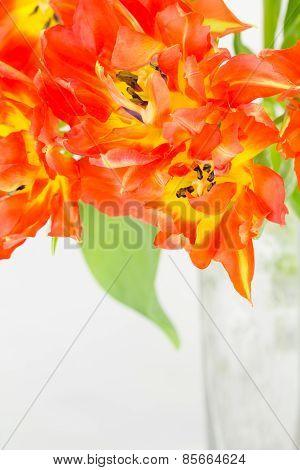 Double Orange And Yellow Tulips
