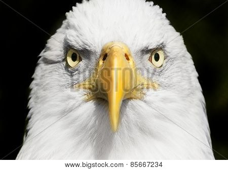 Bald Eagle Portrait Close Up With Focus On Eyes
