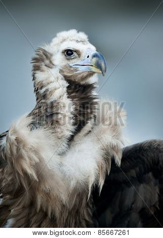 Griffon Vulture - Portrait In Winter
