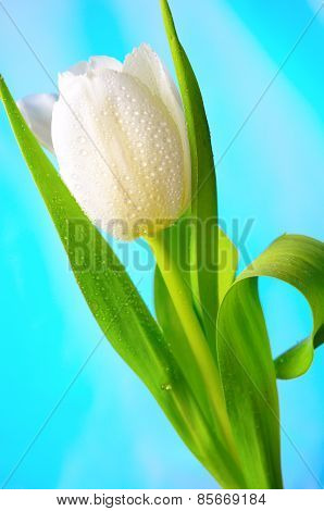 White-yellow tulips with water drops.